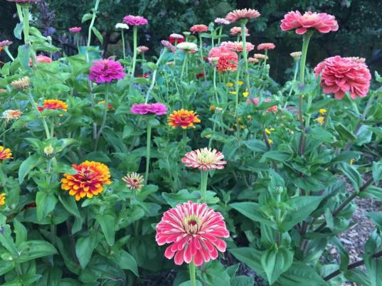 zinnias community garden EG